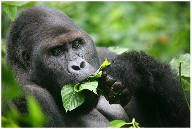 11. Gorille La nature est faite de milliers d'espèces extraordinaires. Malheureusement, certaines d'entres elles sont sur le point de disparaitre : 1. Grand Ara vert 2. Okapi 3. Tetras du Gunnison 4. Hippopotame Pygmée 5. Gorfou sauteur 6. Pangolin chi...