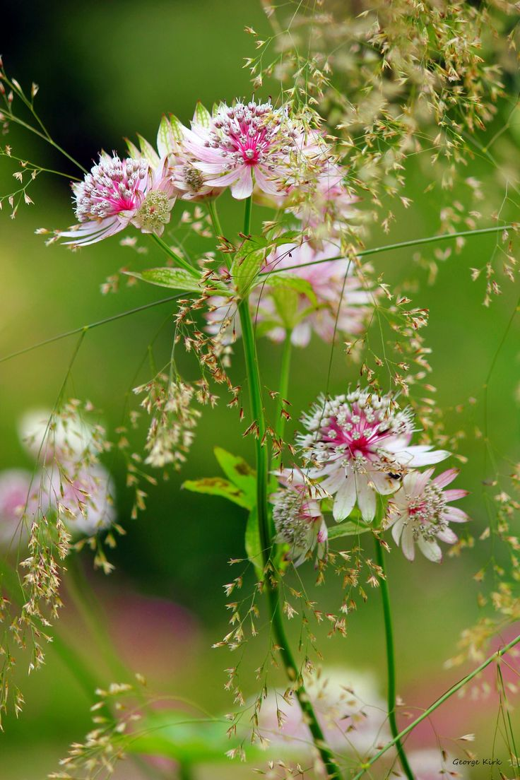 Astrantia 2 by George-kirk.deviantart.com on @deviantART