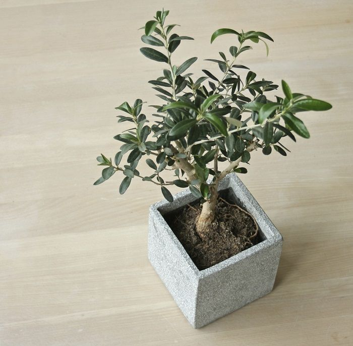 17 best ideas about olive tree care on pinterest olive for Growing olive tree indoors