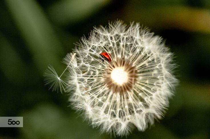 Dandelion&Ladybug by Graziella Serra Art & Photo on 500px