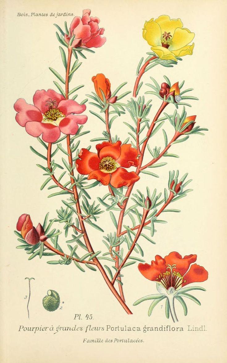 Img dessins plantes et fleurs jardins et appartements dessin de fleur de jardin 0095 pourpier a for Fleurs et plantes