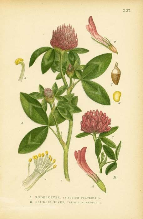 Image result for red clover illustration