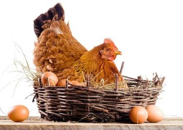 Разведение кур как бизнес на несушках и яйцах