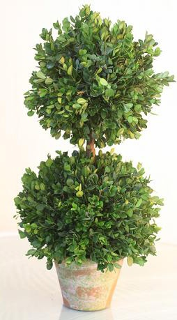 And my favorite, a boxwood in any shape and size.  Nothing says garden like a classic form from the great gardens of Europe!