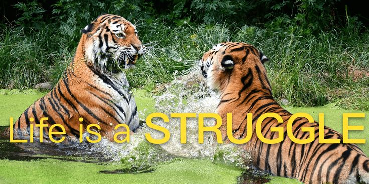 Life is a stuggle  #pamily #tiger