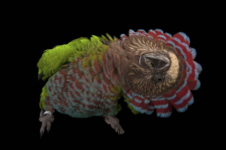 "A ""hawk-headed parrot"" (Deroptyus accipitrinus).  Bird Species Animal Portraits by Joel Sartore"