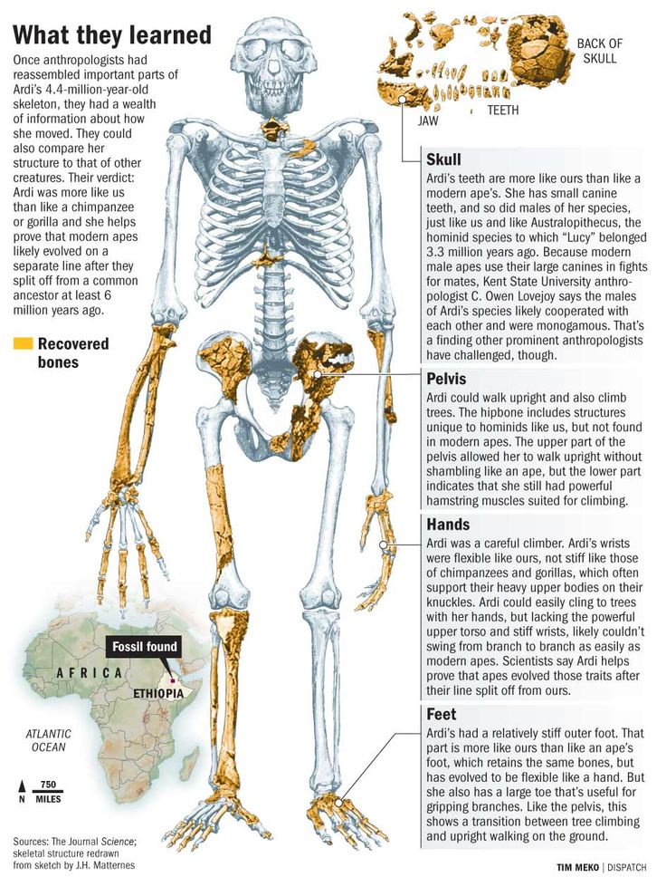 Early Humans Evolution Ardipithecus ramidus -...