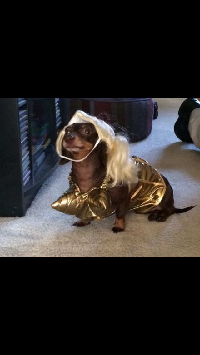 24 best Puttin' on the Dog images on Pinterest | Dachshund ...