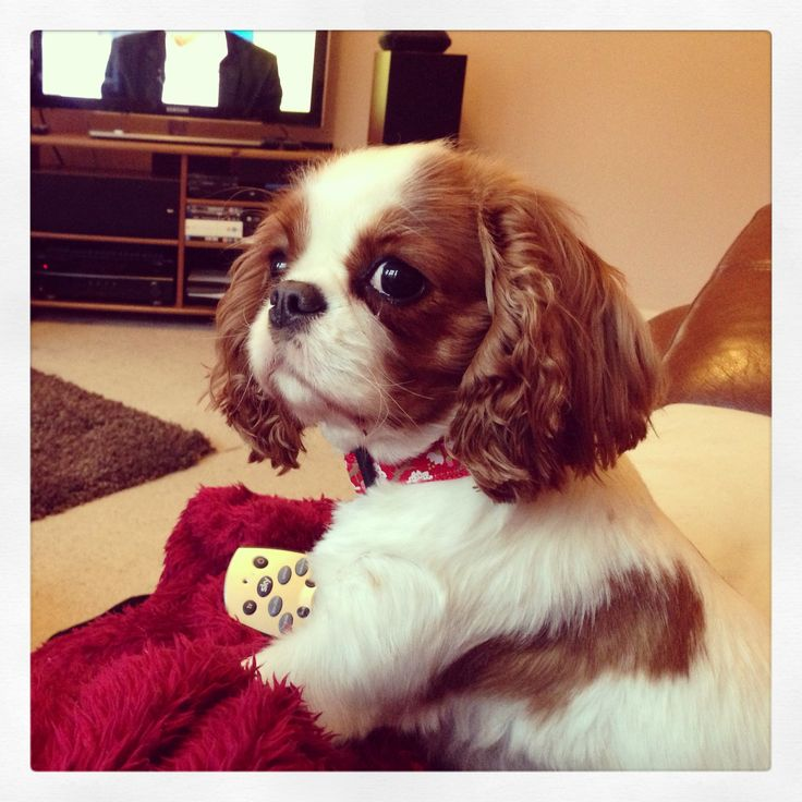 I love dogs, but my absolute favorite breed is the Cavalier King Charles Spaniel.  Just look at that face.