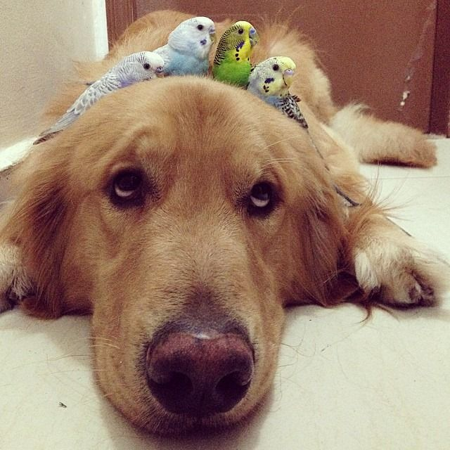 This is Bob. His friends include 8 birds and a hamster and this is how they roll ‪#‎maximumcute‬ credit: Instagram@bob_goldenretriever
