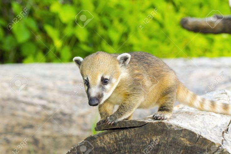 41171704-A-young-South-American-coati-Nasua-nasua-baby-on-a-tree-log-Stock-Photo.jpg (1300×866)
