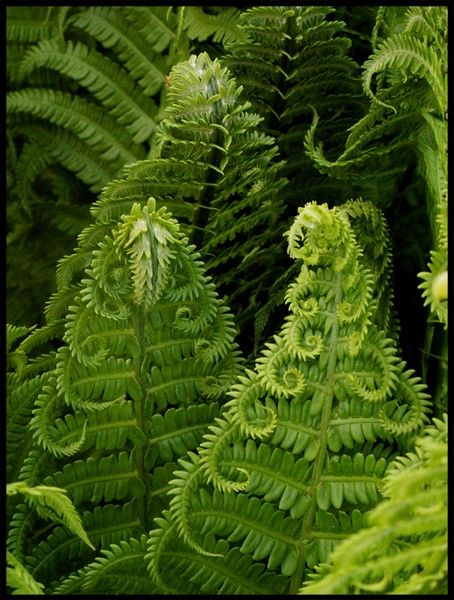 These ferns look like creatures to me with rows of furled (tentacle-like) arms
