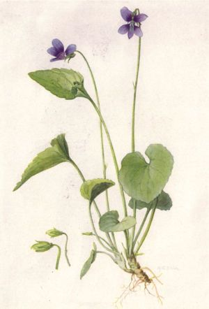 National Geographic Magazine/Volume 31/Number 6/Our State Flowers/List of Illustrations : Wikis (The Full Wiki)