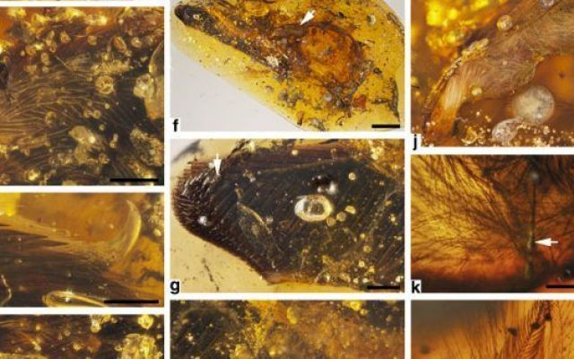 I primi dinosauri fossilizzati nell'ambra Nel 2002, Dalla Vecchia e Chiappe descrissero i resti di un piccolo enantiornite libanese, la cui posizione filogenetica fu poi analizzata da Cau e Arduini (2008), che istituirono Enantiophoenix elec