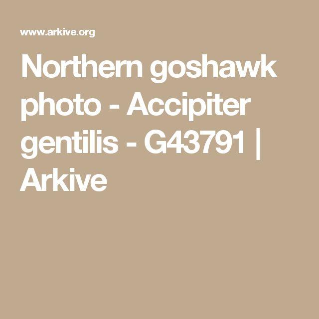 Northern goshawk photo - Accipiter gentilis - G43791   Arkive