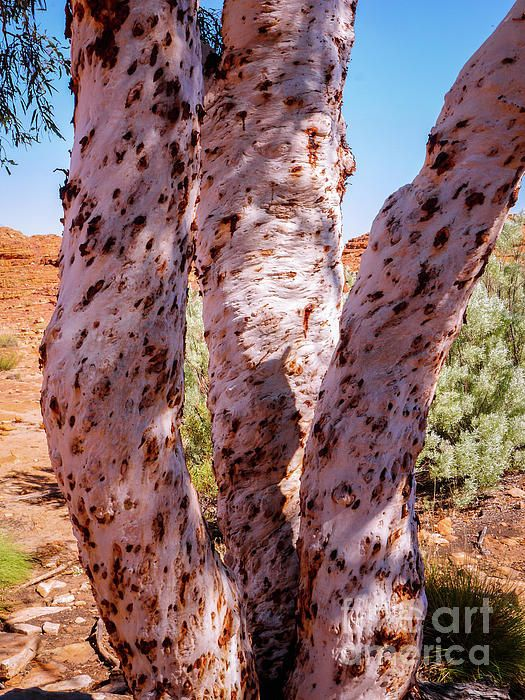 Ghost Gum Trees. Australian Tree Bark Series by Lexa Harpell. A collection of Aussie tree bark images. Taken from my travels around Australia. Add a splash of COLOUR and UNIQUE LOOK! Visit my photo gallery and get a beautiful Fine Art Print, Canvas Print, Metal or Acrylic Print OR Home Decor products. 30 days money back guarantee on every purchase so don't hesitate to add some AUSTRALIAN INTIMACY in your home.