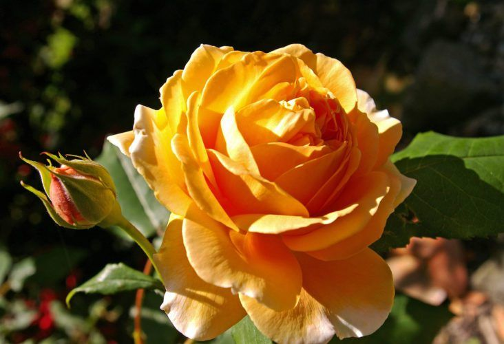 50+ Gambar Bunga Mawar Indah Inspiratif Bisa Kamu Jadikan Wallpaper