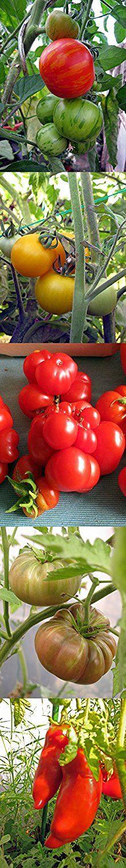 Weihnachtsgeschenk Tomaten-Anzucht-Set: 'Alte, aromatische Tomatensorten', 5 besondere Tomatensamen-Sorten mit Minigewächshaus & Aussaatzubehör.