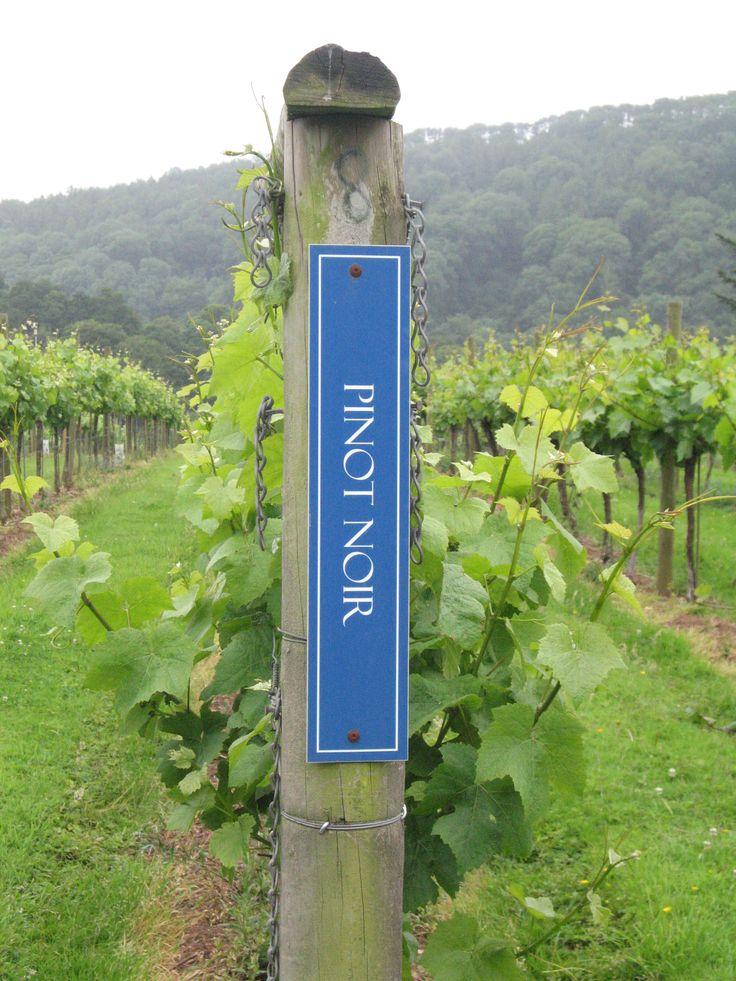 Pinot Noir grape vines at Sharpham Vineyard  Devon  England  Photo by    Pinot Noir Grape Vines