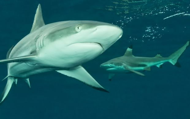 Saipan shark finnners drawing ire http://www.radionz.co.nz/international/pacific-news/290024/cnmi-conservationists-angry-at-dead-shark-discovery