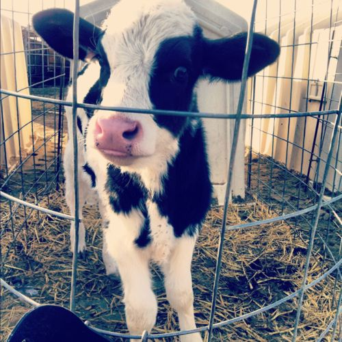 It's the picture I took at the dairy farm! It somehow got all the way to pinterest from my tumblr. Crazy!