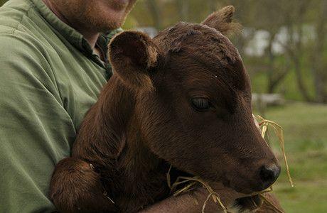 Nyfödd kalv av lantrasen Ringamålako. Foto: Jessica Ljung/Kulturen