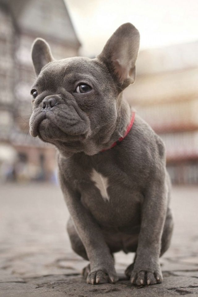 French Bulldog Mobile Wallpaper Mobiles Wall Grey