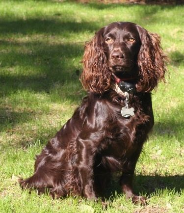 Jackson the Boykin Spaniel sitting outside - The Boykin Spaniel is a medium-sized breed of dog, a Spaniel bred for hunting wild turkeys and ducks in the Wateree River Swamp of South Carolina, in the United States. Wikipedia