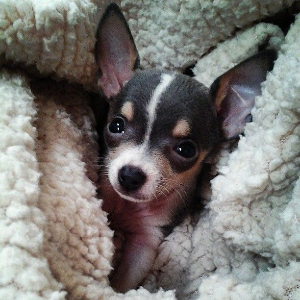 Toy Fox Terrier puppy