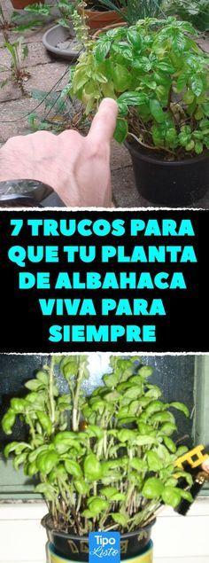 7 trucos para que tu planta de albahaca viva para siempre en la cocina o jardín…