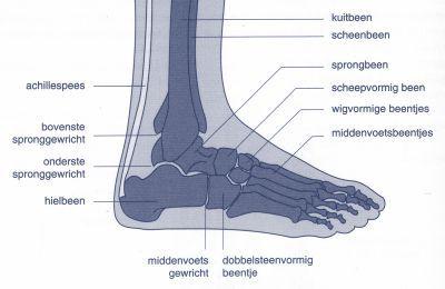 [anatomie voet]