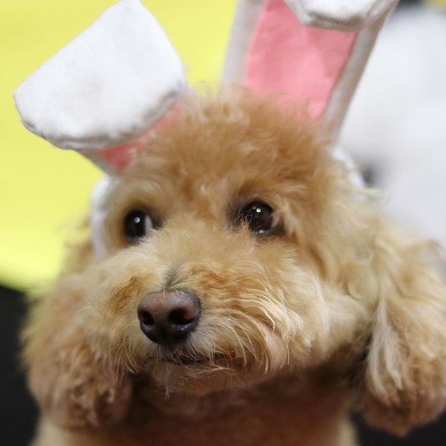 今度はお月見でウサギだってよ  お店 @nikukyuno_kimochi うに @uni_1221 、  #神楽坂  #トイプードル #神楽坂ドッグカフェ  #犬カフェ #肉球 #肉球のきもち #犬のおやつ #ドッグカフェ #仔犬 #もずく #うに #トイプードルもずく #トイプードルうに #超音波温浴 #酵素風呂 #セルフシャンプー #神楽坂トリミング #神楽坂おすすめ #愛犬 #犬 #いぬ #イヌ #イヌスタグラム #toypoodle #dog #dogstagram #poodle #inumatome #doggies