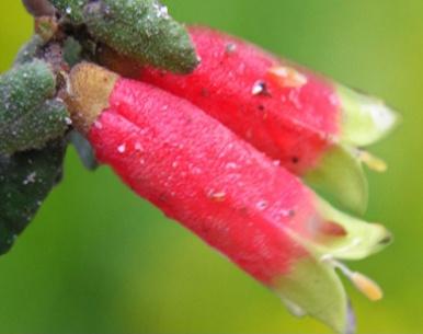 Correa reflexa - Australian Native Plants Society