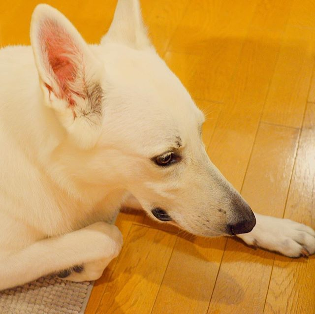 paristagram🐾 She has a habit of bending her arms🤔 パリスは腕を曲げるクセがあります🐾 ・ ・ ・ #paris #dog #dogstagram #lovedogs #doglover #cute #whiteswissshepherd #whiteshepherd #annies #pet #Japan #habit #パリス #愛犬 #犬 #ペット #大型犬 #犬のいる暮らし #ホワイトスイスシェパード #ホワイトシェパード #アニーズ #クセ #癖