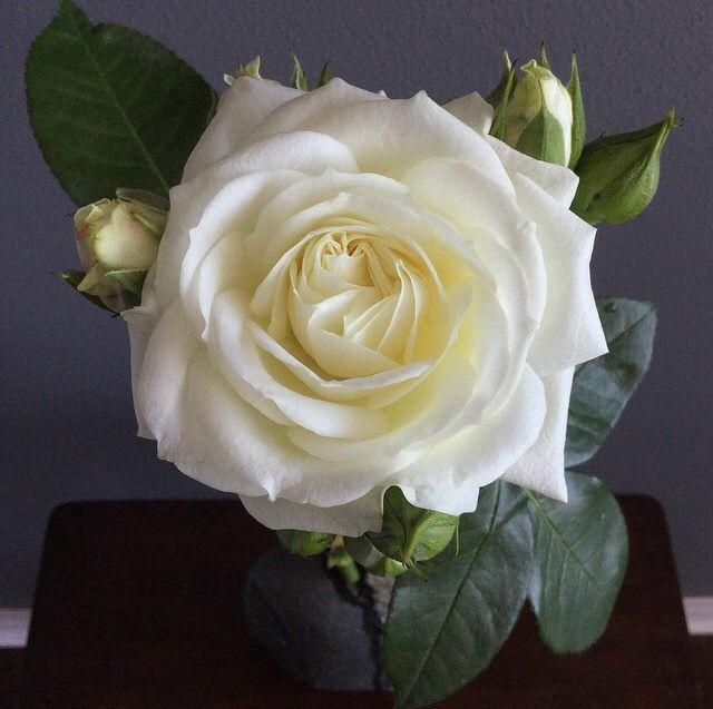 White Garden Rose 12 best garden roses images on pinterest | garden roses, flower