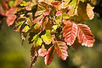 Poison Oak Plant In The Fall