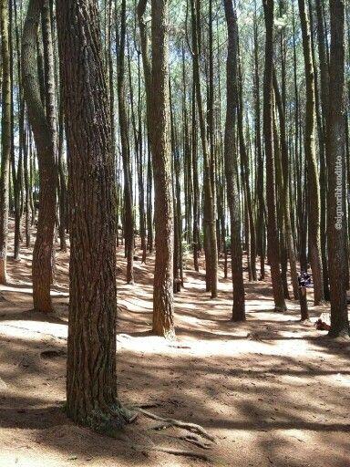 Mangunan Pine Forest, Imogiri - Yogyakarta, Indonesia  #amazingindonesia #pineforest #beautifulnature