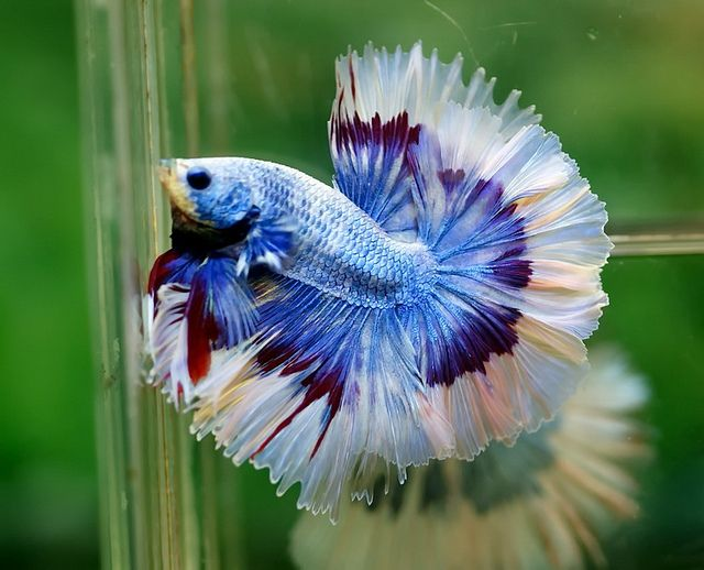 Lavender butterfly | Fancy bettas | Pinterest | Photo ...