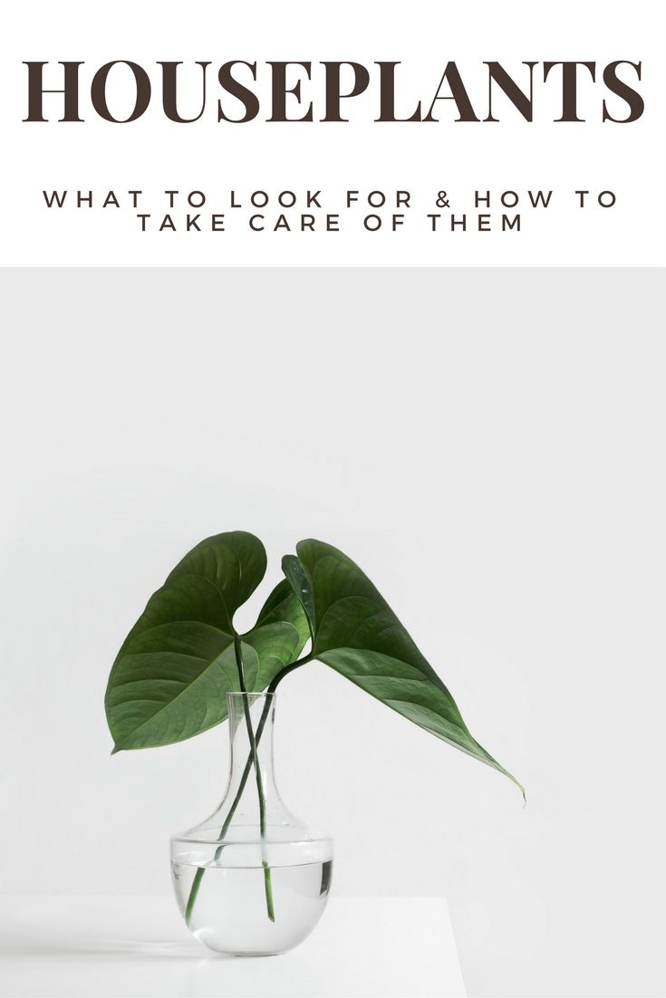 Having house plants for some people is the closest thing they can have to a pet. Most people will agree though, that their is something about having plants in the house that just makes it feel more comforting. Which is why I'm talking selection tips and best care practices.
