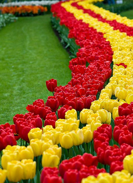 Yes, they are this beautiful, and even more so, in person.  An amazing array of colors, patterns, and people coming to see them!  Lisse, South Holland...beautiful tulips