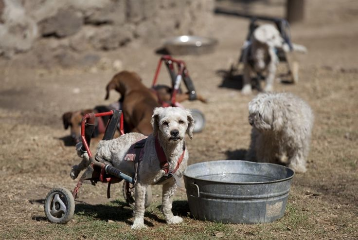 "A dog equipped with a dog wheelchair stands next to a metal pail at the ""Milagros Caninos,"" sanctuary for abused and abandoned dogs, in Mexico City, Jan. 11. About 128 abused dogs are sheltered at the Milagros Caninos sanctuary. Dogs on wheelchairs, blind, deaf or ill frolic and run around the huge sanctuary in the southern part of Mexico City."