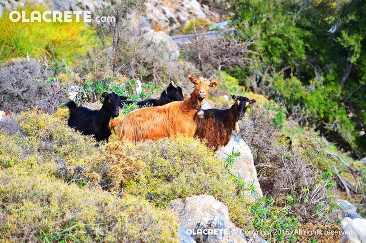 Goats south-east coast - Crete