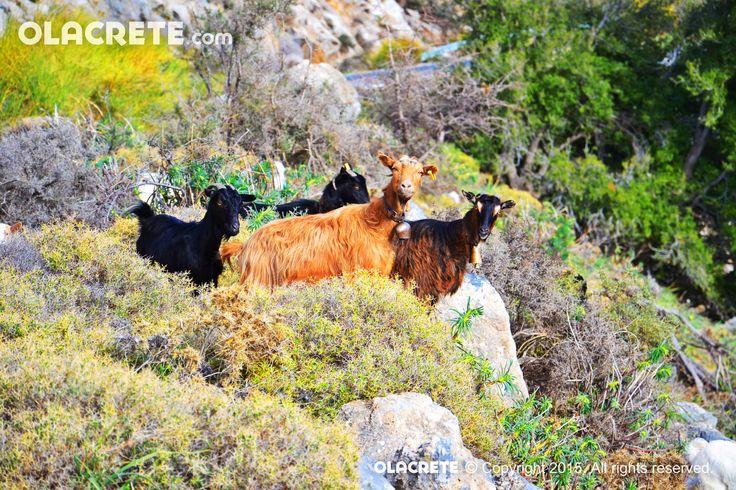 Goats south-east coast - Crete