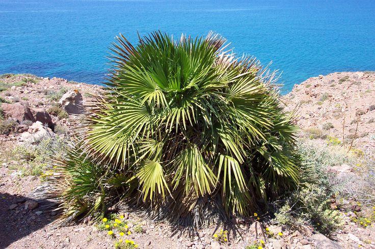 ¿Qué tipos de palmeras nos podemos encontrar en España? - https://www.jardineriaon.com/tipos-palmeras-espana.html #plantas