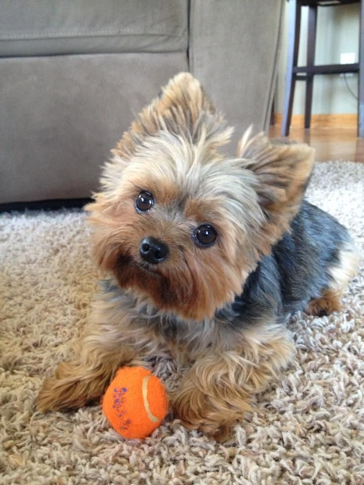Adorable Sweet Little Yorkshire Terrier Dog - Just Look at that Sweet Little Happy Face!