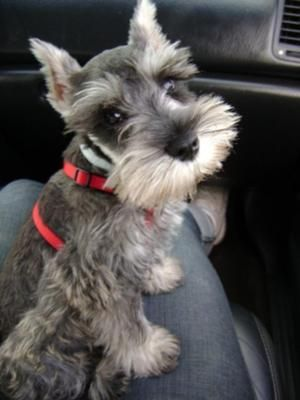 miniature schnauzer puppy........