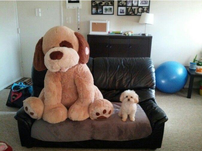"""Mi sembra che il cane o """"cagnolino"""" sia un po più grande del peluche..."""