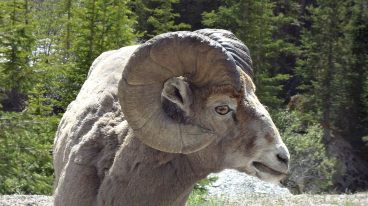 A drive through Alberta's Highway 11, or the other popular mountain roads will no doubt have you coming close to the big horn sheep. Most notably in Jasper and Highway 11 area, they seem quite obli...