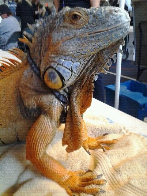Red iguana.-photo taken by me (Gina Ann)!