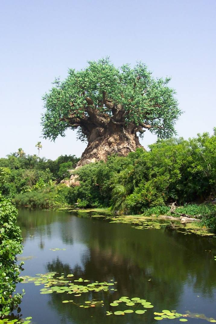 This is the tree in Africa